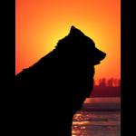 Hundeshilouette vor dem orangefarbenen Sonnenuntergang.